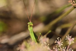 Macro image of an isolated specimen of Mantis while attentively observing if there are preys to be captured.