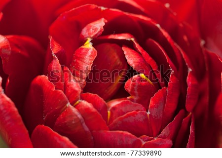 Macro image of beautiful red tulip