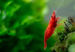 Macro image of big fire red or cherry dwarf shrimp with green background in fresh water aquarium tank. This animal is pet to help for relaxation at home and also release of work.
