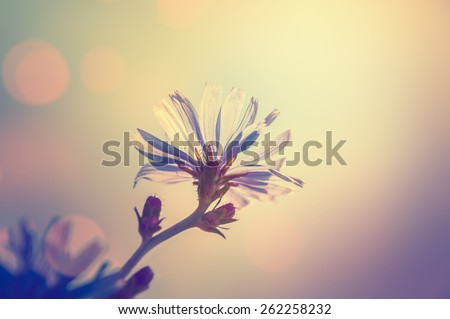 Macro image of chicory flower, small depth of field. Blurred flower background. Vintage effect