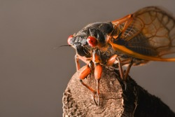 Macro image of cicadas on a broken tree branch.  It is part of Brood X 17-year cicadas also known as the Great Eastern Brood.