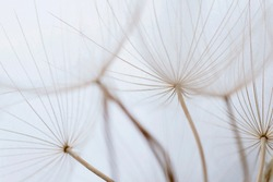 Macro image of dandelion seed heads with detailed lace-like patterns on the Greek island of Kefalonia.