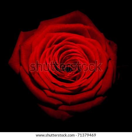 Macro image of dark red rose