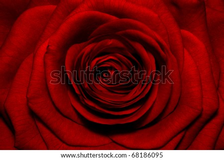 Macro image of dark red rose.Extreme close-up with shallow dof.