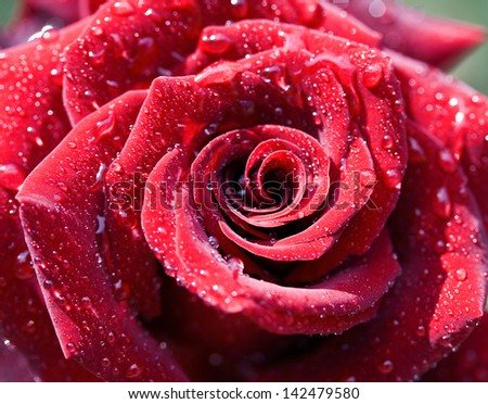 Macro image of dark red rose with water droplets. Extreme close up with shallow dof.