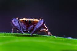 macro image of jumping spider. macro mode close up shot animal and insect.