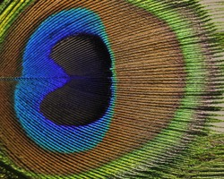 macro image of peacock feather/Peacock Feather