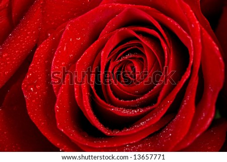 Macro image of red rose with water droplets