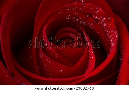 Macro image of  red rose with water droplets, shallow depth of field