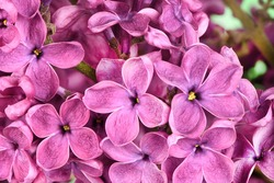 Macro image of spring lilac violet flowers, abstract floral background. High resolution photo. Full depth of field.