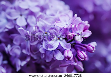 Macro image of spring lilac violet flowers, abstract soft floral background #246017728