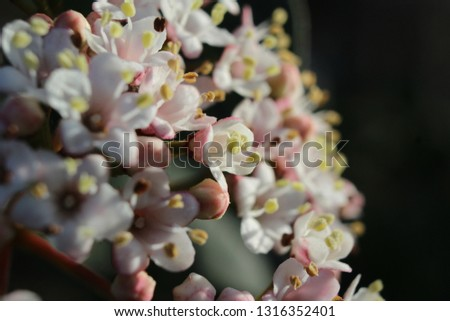 Macro image of the beautiful white spring flowers of Viburnum tinus 'Eve Price', side lit by the early morning sun. With copy space.