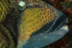 Macro image of the famous Titan Triggerfish. The strong jaws and teeth of this reef inhabitant crush rocks and coral. Be careful when they are nesting as they become terratorial and will chase you.