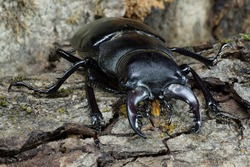 Macro imago Caucasian stag beetle Lucanus with limbs splayed against the background of the bark with moss