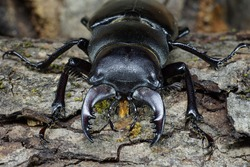 Macro imago Caucasian stag beetle Lucanus with splayed limbs to crawl out from under the tree bark