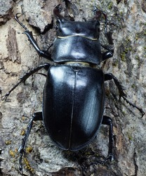 Macro imago Caucasian stag beetle on the bark of the tree with green moss