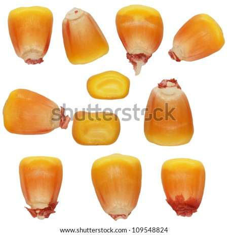 Macro kernel corn isolated on white background