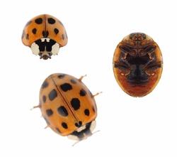 Macro ladybug Asian beetle (Harmonia axyridis),  isolated on white background, with clipping path.