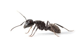 Macro lateral view of ant standing over white background
