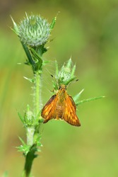 Macro lens photography of a Large skipper butterfly (Ochlodes sylvanus) standing in the sun on a wild plant on a natural bokeh background.