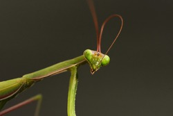 Macro lens shot of a female Mantis, insect of the order of Mantodea, while cleaning an antenna, on a dark gray background.