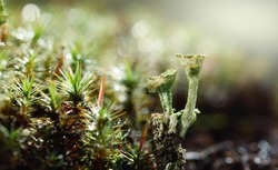 Macro low point of view of moss and Cladonia Cup Lichen growing on forest floor, early morning after rain