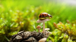 Macro low point side view of red ladybird sitting on mushroom cup on forest floor at bright sunny day