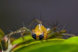 Macro Lynx Spider on leaf. lynx spider in Thailand;