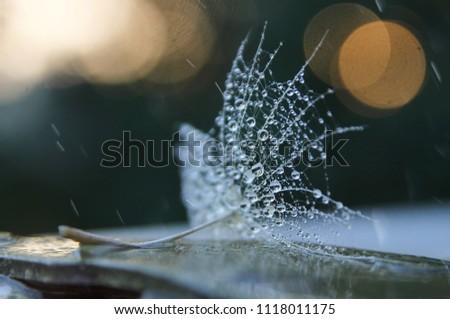 macro. macro dandelion and macro drops. macro photo #1118011175