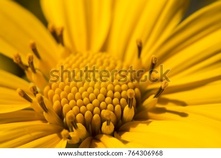 Macro Mexico Sunflower. #764306968