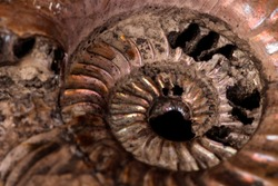 Macro mineral stone Ammonite shell on a black background close up
