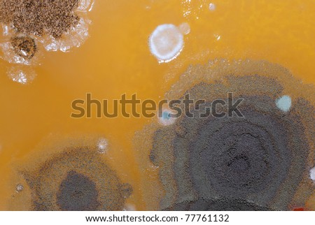 Macro mold colonies growing on an agar plates.