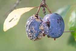 Macro nature photography: rotten blue plum hanging on a tree.