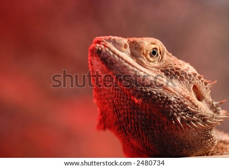 macro of a bearded dragon 39 s head with the red glow of a. Black Bedroom Furniture Sets. Home Design Ideas