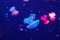 macro of a beautiful jellyfish catostylus mosaicus close up