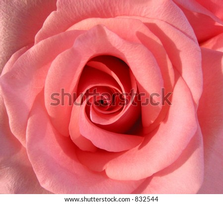 Macro of a beautiful pink rose