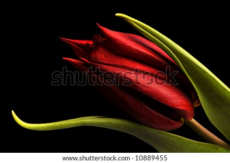 macro of a beautiful red tulip on black background.