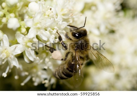 Macro of a  bee carrying honey