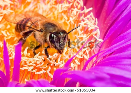 Macro of a bee in a yellow and lilac flower