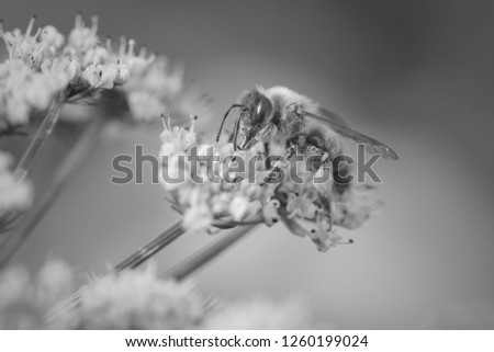Macro of a bee sucking pollen from wild white flowers. Converted black and white.