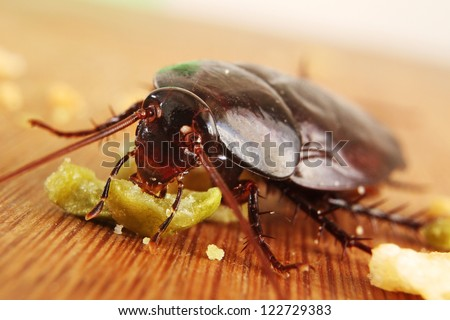 Macro of a Big Brown Cockroach eating crumbs