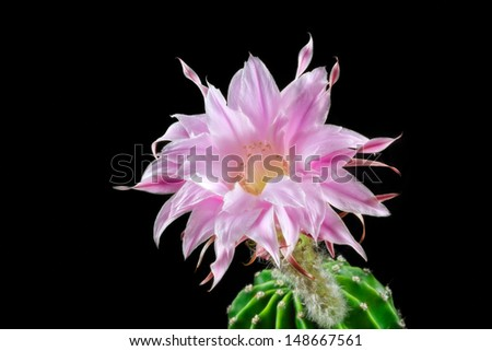 stock-photo-macro-of-a-blooming-echinopsis-in-front-of-a-black-background-148667561.jpg