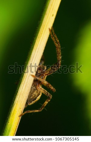 Macro of a brown spider of a wandering hunter of the Lycosidae family on a stalk in the foothills of the Caucasus                                #1067305145