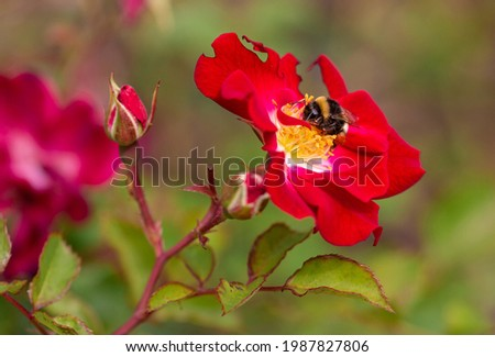 Macro of a bumble bee (bombus) on a red rose with blurred background; pesticide free environmental protection save the bees concept; Foto d'archivio ©