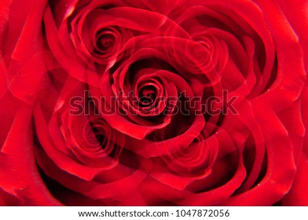 """Macro of a Caucasian red rose """"Niccolo Paganini"""" with twisted petals in five sectional reflection                                #1047872056"""