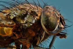 Macro of a common black fly
