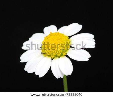 macro of a daisy flower - stock photo