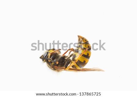 Macro of a dead wasp (Vespula vulgaris), isolated on white