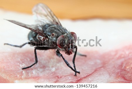 Macro of a Dirty House Fly on a piece of red meat - stock photo