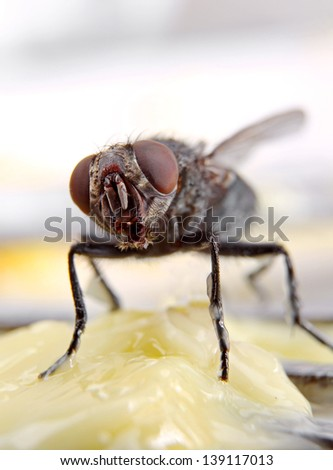 Macro of a Dirty House Fly on a piece of Yellow Butter